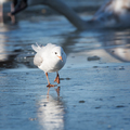 Seagull cautiously goes on the ice - PhotoDune Item for Sale