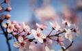 Flowering branch of plum - PhotoDune Item for Sale