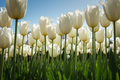 White high tulips in green foliage - PhotoDune Item for Sale