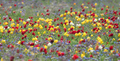 Wild tulips of red and yellow in green grass - PhotoDune Item for Sale