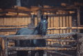 Black horses stay on farm in the pen - PhotoDune Item for Sale