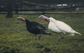 Two turkeys walk on a on the farmyard - PhotoDune Item for Sale