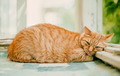 Ginger cat sleeping on a sunny day time on a balcony - PhotoDune Item for Sale