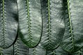 Close up of Plumeria leafs - PhotoDune Item for Sale