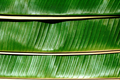 Close up of Banana leafs - PhotoDune Item for Sale