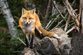 Red Fox - Vulpes vulpes, walking along a fallen tree - PhotoDune Item for Sale
