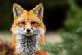 Red Fox - Vulpes vulpes, close-up portrait with bokeh of pine trees in the background. - PhotoDune Item for Sale
