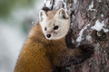 Pine Marten - Martes americana, hugging a tree during a snow storm.  - PhotoDune Item for Sale