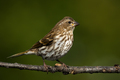 Purple Finch - Haemorhous purpureus, a female perched on a branch.  - PhotoDune Item for Sale