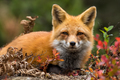 Red Fox - Vulpes vulpes, close-up portrait. Laying down in the colorful fall vegetation. - PhotoDune Item for Sale