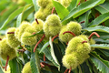 Sweet chestnuts growing on a tree - PhotoDune Item for Sale