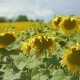 Big Moving Sunflowers Field  - VideoHive Item for Sale