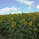 Big Moving Sunflowers Field Moves on the Wind - VideoHive Item for Sale