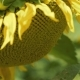 Sunflower Blossom with Bee Moves on the Wind  - VideoHive Item for Sale