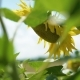 Beautiful Sunflowers in the Wind - VideoHive Item for Sale