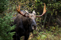 Moose - Alces alces, a male bull emerging from the forest. - PhotoDune Item for Sale