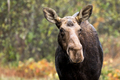 Moose - Alces alces, portrait of a female cow.  Bokeh of autumn colored leaves in the background. - PhotoDune Item for Sale