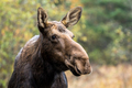 Moose - Alces alces, close-up portrait of a female cow.  Bokeh of fall leaves in the background. - PhotoDune Item for Sale