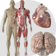 Human Body and Organs - VideoHive Item for Sale