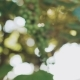 Blurred Background of Sun Rising Through the Leaves of Vineyard - VideoHive Item for Sale