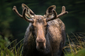 Moose - Alces alces - Closeup portrait of a male bull emerging from a marsh. - PhotoDune Item for Sale
