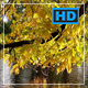 Tree Crown with a Broad Foliage Hangs Over a Pond. Ducks Swim by Autumn Evening. - VideoHive Item for Sale