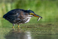 Green Heron - Butorides virescens, a juvenile catches a fish for breakfast. - PhotoDune Item for Sale