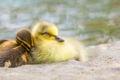A gosling and duckling snuggle up together to take a cozy nap. - PhotoDune Item for Sale