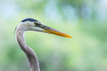 Great Blue Heron - Ardea herodias, a closeup profile with bokeh of trees in the background. - PhotoDune Item for Sale