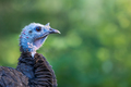 Wild Turkey - Meleagris gallopavo, profile portrait of a female.   - PhotoDune Item for Sale