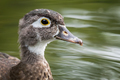 Wood Duck - Aix sponsa, closeup portrait of a female swimming in a pond. - PhotoDune Item for Sale