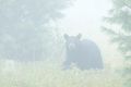 Black Bear - Ursus americanus, walking through a blueberry patch on in the fog - PhotoDune Item for Sale