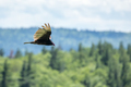 Turkey Vulture - Cathartes aura, eye-level profile while flying over forested hills. - PhotoDune Item for Sale