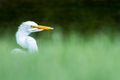 Great Egret - Ardea alba, side profile, looking out from blurred grass bokeh. - PhotoDune Item for Sale