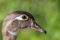 Wood Duck - Aix sponsa, side profile closeup of a female.  - PhotoDune Item for Sale