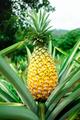 Ripen pineapple waiting for harvest - PhotoDune Item for Sale