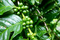 Coffee plants with unripe berries waiting for harvest - PhotoDune Item for Sale