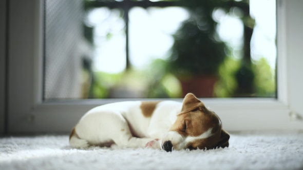 Jack Russel Terrier Puppy Sleeping