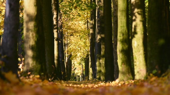 Falling Leaves in Autumn Forest