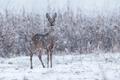 Wild roe deer in a snowstorm - PhotoDune Item for Sale