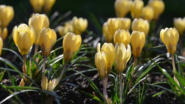 The Yellow Crocus Flowers
