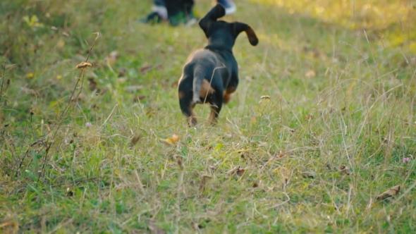 the Dog of the Dachshund Breed Runs