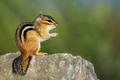 Eastern Chipmunk - Tamias striatus, sitting hind legs on a rock.  - PhotoDune Item for Sale