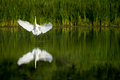 Great Egret - Ardea alba, flying to a landing in a marsh.   - PhotoDune Item for Sale