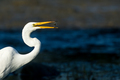Great Egret - Ardea alba, portrait while fishing in a marsh. - PhotoDune Item for Sale