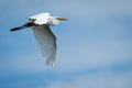Great Egret - Ardea alba, flying against a mixed sky of blue and light clouds. - PhotoDune Item for Sale