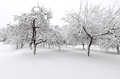 Apple trees after winter snow storm - PhotoDune Item for Sale