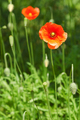 poppies - PhotoDune Item for Sale