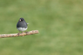 Dark-eyed Junco - Junco hyemalis, a male perched on a branch - PhotoDune Item for Sale