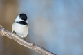 Black-capped Chickadee - Poecile atricapillus, perched on a frosty branch - PhotoDune Item for Sale